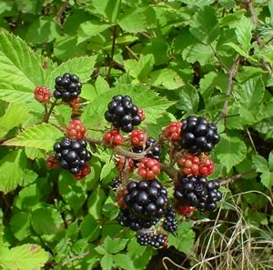 Figure 1. Berries on a baseballivorous blackberry bush.*
